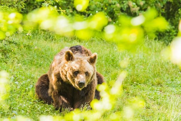 Niedźwiedź brunatny przekraczania zielonego lasu