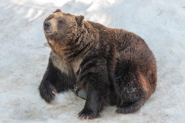 Niedźwiedź brunatny siedzi na białym śniegu