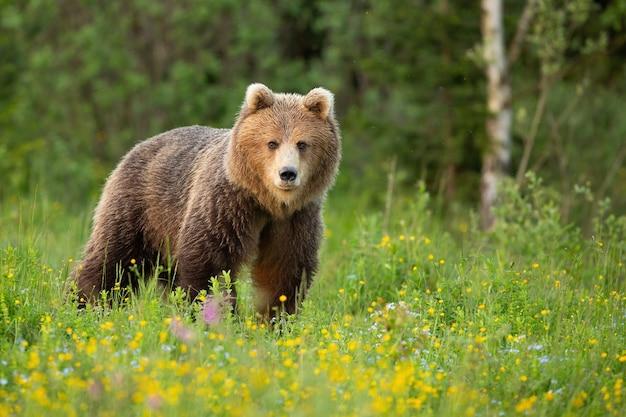 Niedźwiedź brunatny stojący na kwitnącej polanie w wiosennej przyrodzie.