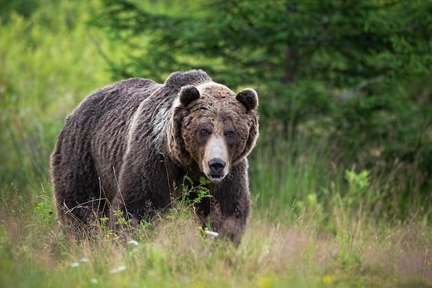 Niedźwiedź brunatny stojący na łące w przyrodzie latem.