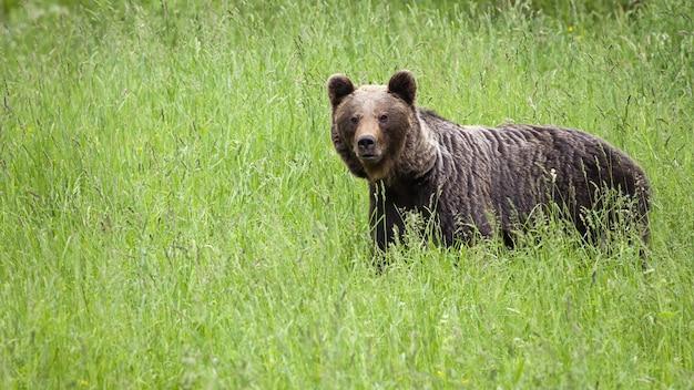 Niedźwiedź brunatny stojący na użytkach zielonych w przyrodzie latem