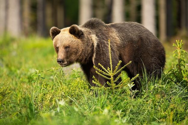 Niedźwiedź brunatny stojący na zieleni w okresie letnim
