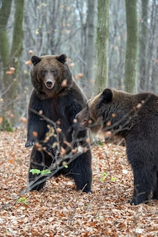 Niedźwiedź brunatny (ursus arctos) stojący na tylnych łapach w jesiennym lesie
