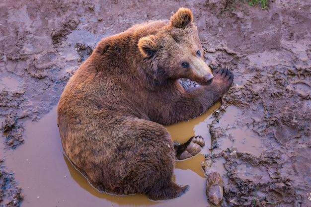 Niedźwiedź brunatny, ursus arctos.