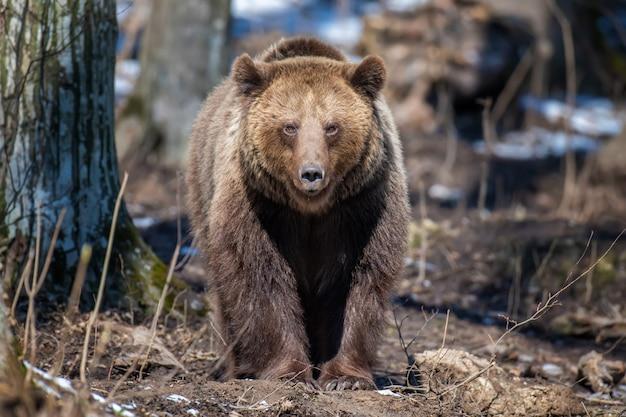 Niedźwiedź brunatny w lesie z bliska. scena dzikiej przyrody z wiosennej natury. dzikie zwierzę w naturalnym środowisku