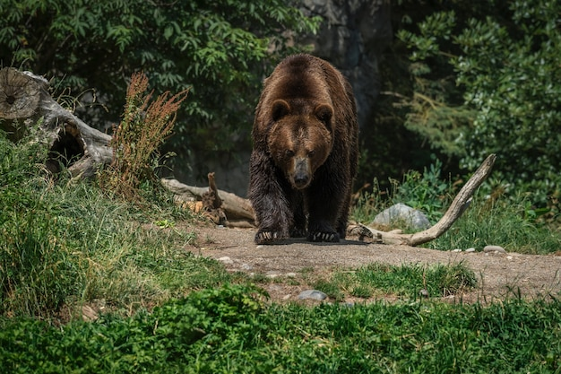 Niedźwiedź brunatny w lesie