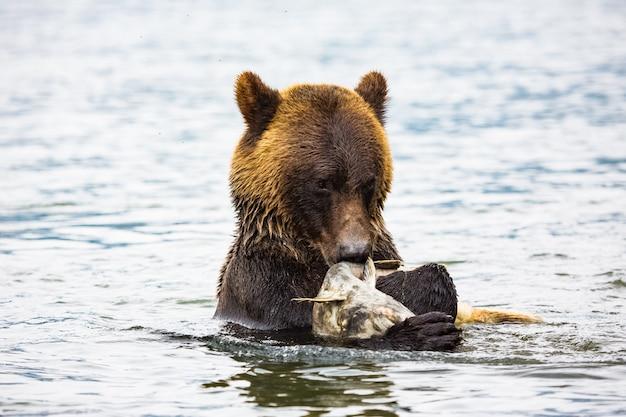 Niedźwiedź brunatny w rzece