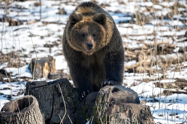 Niedźwiedź brunatny w zimowym lesie