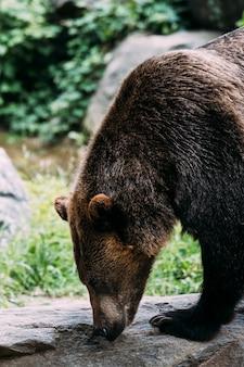 Niedźwiedź brunatny w zoo bronx. nowy jork