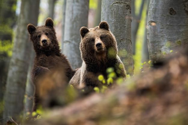 Niedźwiedź brunatny wraz ze swoim szczeniakiem w lesie