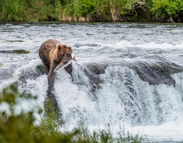 Niedźwiedź brunatny z łososiem w ustach