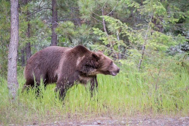 Niedźwiedź grizzly idący przez długą trawę