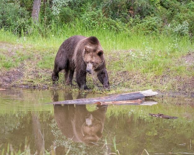 Niedźwiedź grizzly idący wzdłuż rzeki z odbiciem