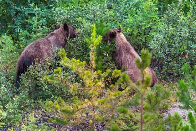 Niedźwiedź grizzly w jesiennych ośnieżonych górach, kanada