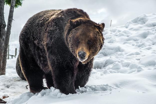Niedźwiedź grizzly w kanadzie