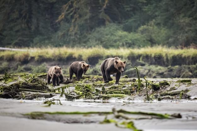 Niedźwiedź grizzly w lesie