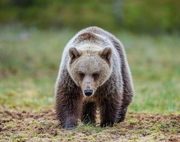 Niedźwiedź idzie bezpośrednio do fotografa