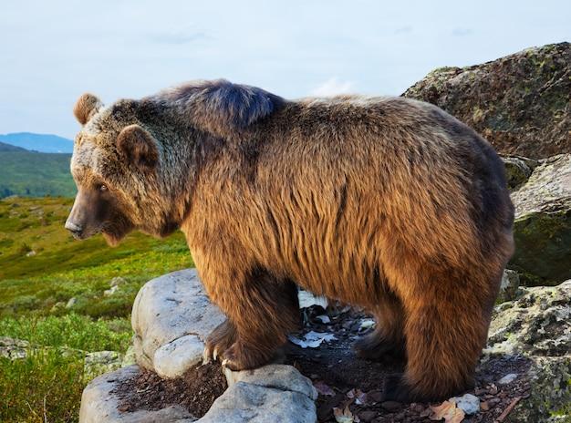 Niedźwiedź na kamieniu w obszarze dzikości