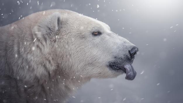Niedźwiedź polarny idzie w śnieg, pokazuje język. piękne zdjęcie.