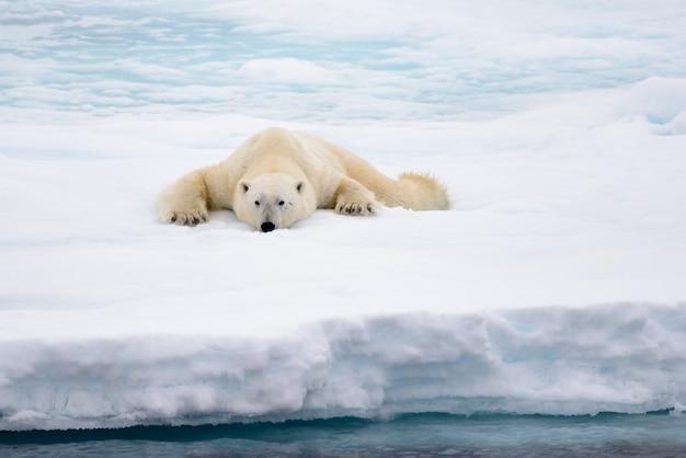 Niedźwiedź polarny leżący na lodzie ze śniegiem w arktyce