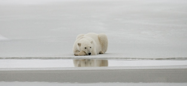 Niedźwiedź polarny leży w śniegu w tundrze. kanada. park narodowy churchill.