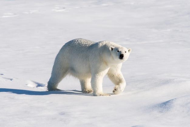Niedźwiedź polarny na lodzie