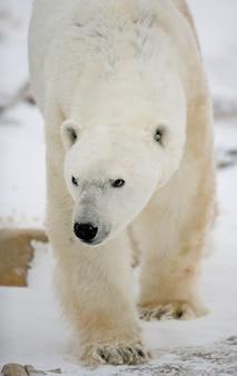 Niedźwiedź polarny na tundrze. śnieg. kanada.