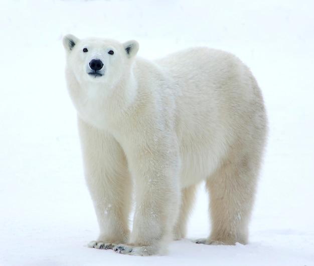 Niedźwiedź polarny stoi w polu