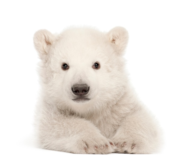 Niedźwiedź polarny, ursus maritimus, 3 miesiące, leżący na białej ścianie