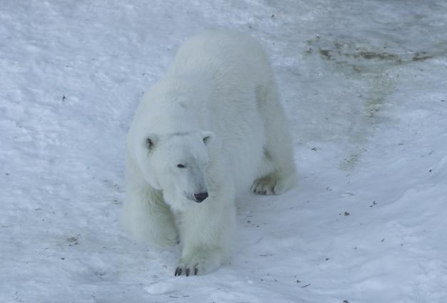 Niedźwiedź polarny (ursus maritimus) chodzenie na białym śniegu