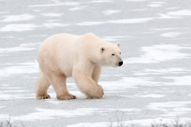 Niedźwiedź polarny (ursus maritimus), churchill, manitoba, kanada