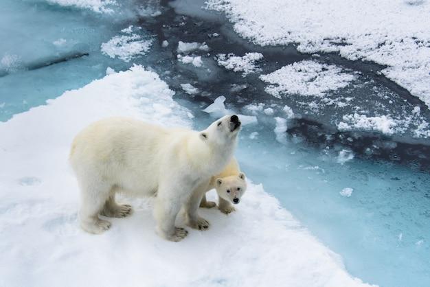 Niedźwiedź polarny (ursus maritimus) matka i młode na lodzie stada, na północ od svalbard w arktycznej norwegii