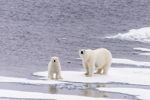 Niedźwiedź Polarny (ursus Maritimus) Matka I Młode Na Lodzie Stada, Na Północ Od Svalbard W Arktycznej Norwegii Premium Zdjęcia