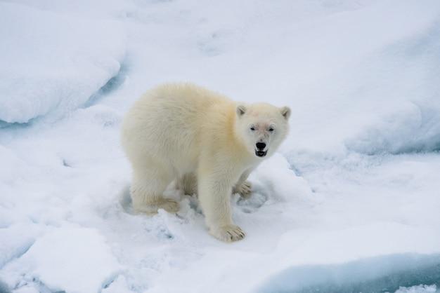 Niedźwiedź polarny (ursus maritimus) młode na lodzie stada, na północ od svalbard w arktycznej norwegii