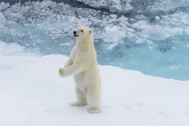 Niedźwiedź polarny (ursus maritimus) młode stojący na lodzie stada, na północ od svalbard w arktycznej norwegii