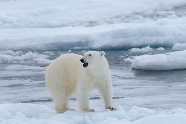 Niedźwiedź polarny ursus maritimus na lodzie na północ od wyspy spitsbergen svalbard