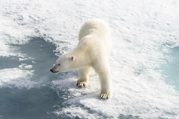 Niedźwiedź polarny (ursus maritimus) na lodzie stada na północ od wyspy spitsbergen, svalbard, norwegia, skandynawia, europa