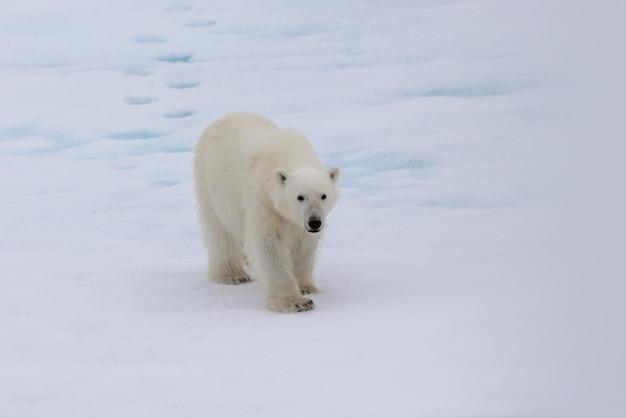 Niedźwiedź polarny (ursus maritimus) na lodzie stada na północ od wyspy spitsbergen, svalbard