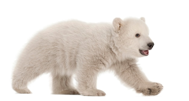 Niedźwiedź polarny ursus maritimus w wieku 3 miesięcy spaceruje na białej przestrzeni