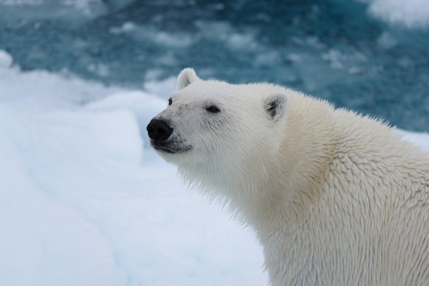 Niedźwiedź polarny (ursus maritimus) z bliska