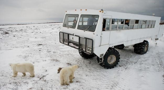 Niedźwiedź polarny zbliża się bardzo blisko specjalnego samochodu na arktyczne safari. kanada. park narodowy churchill.