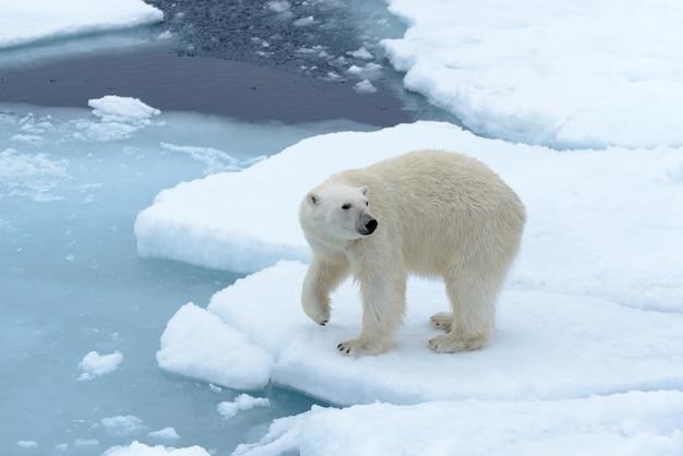 Niedźwiedź polarny