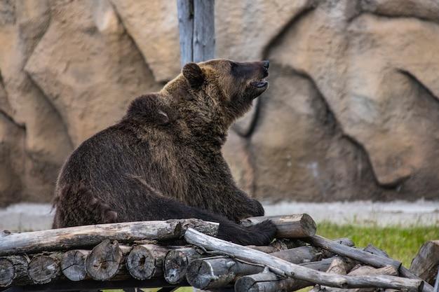 Niedźwiedź siedzi latem na drewnianej podłodze w zoo