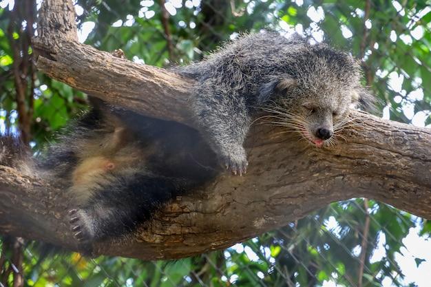 Niedźwiedź śpi na drzewie