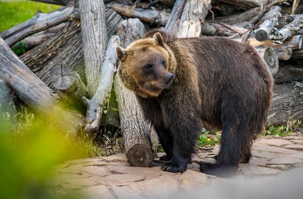 Niedźwiedź stał się czujny i wąchał latem ofiarę