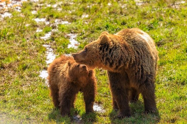 Niedźwiedź w parku przyrody cabarceno w hiszpanii