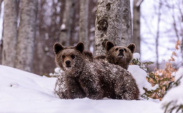 Niedźwiedź w zimie.