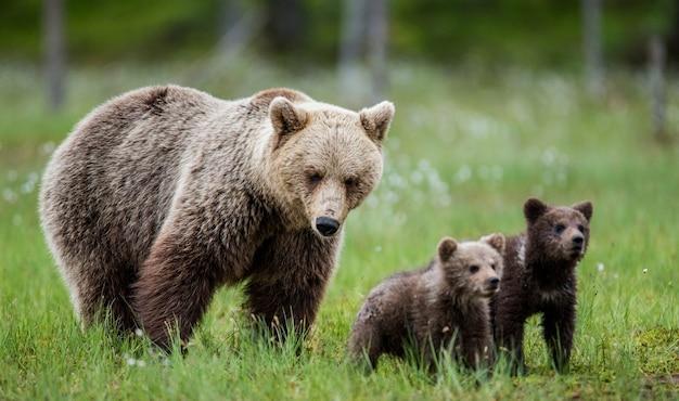 Niedźwiedzica z młodym na polanie wśród białych kwiatów w lesie