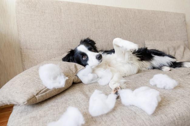 Niegrzeczny figlarny szczeniak border collie po psotnej poduszce gryzącej leżącej na kanapie w domu