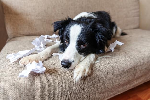 Niegrzeczny figlarny szczeniak rasy border collie po psotach gryzący papier toaletowy leżący na kanapie w domu.